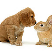 Golden Cocker Spaniel And Rabbit Poster