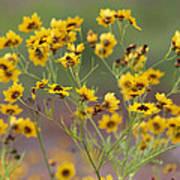 Golden Coreopsis Tickseed Wildflowers Poster
