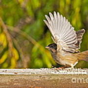 Golden Crowned Sparrow Poster
