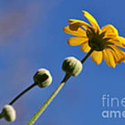 Golden Daisy On Blue Poster