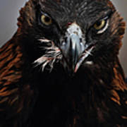 Golden Eagle Feeding Poster by Pat Gaines