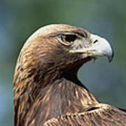 Golden Eagle In Profile Poster