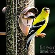 Golden Finch Poster