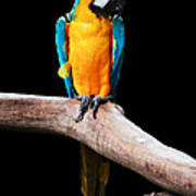 Golden Macaw Poster
