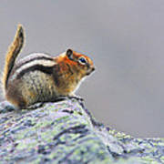 Golden-mantled Ground-squirrel Poster