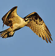 Golden Osprey In Dawn's Early Light Poster