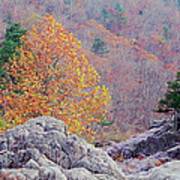 Golden Poplar Among The Rocks At Johnsons Shut Ins State Park Poster