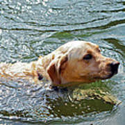 Golden Retriever Swimming Close Poster
