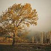 Golden Sunlit Tree With Mist, Yakima Poster
