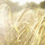 Golden Wheat Field In Sunlight, Close-up Poster