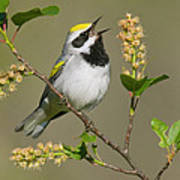 Golden-winged Warbler Vermivora Poster