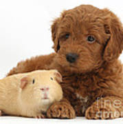 Goldendoodle Puppy And Guinea Pig Poster