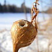 Goldenrod Gall Hole Poster