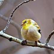 Goldfinch In March Poster