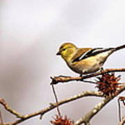Goldfinch In Sweetgum Poster