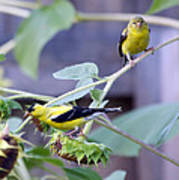 Goldfinch Pair Poster