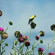 Goldfinches On Thistles Poster