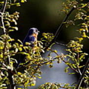 Good Morning Sunshine - Eastern Bluebird Poster