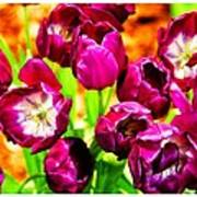 Gorgeous Tulips Poster
