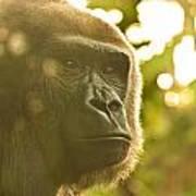 Gorilla At Dusk Poster