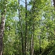 Graceful Aspen Poplars Poster