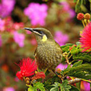 Graceful Honeyeater Poster