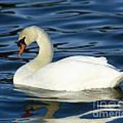 Graceful Reflections - Mute Swan Poster
