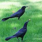 Grackles In The Yard Poster