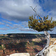 Grand Canyon Struggling Tree Poster