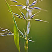 Grass In Flower Poster