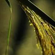 Grass Plume Poster