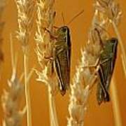 Grasshoppers On Wheat, Treherne Poster