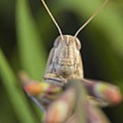 Gray Bird Grasshopper Schistocerca Poster