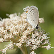 Gray Hairstreak Butterfly On Milkweed Wildflowers Poster