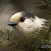 Gray Jay Playing Peek A Boo Poster