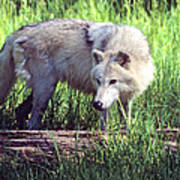 Gray Wolf Watching Poster