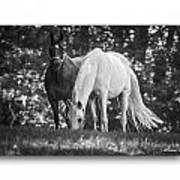 Grazing In Black And White Poster