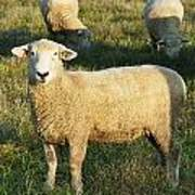 Grazing Sheep. Poster