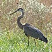 Great Blue Heron - Ardea Herodias Poster