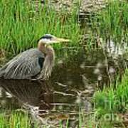Great Blue Heron At The Marsh Poster