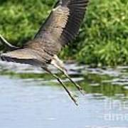 Great Blue Heron Escape Poster
