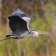 Great Blue Heron In Flight II Poster