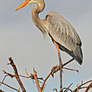 Great Blue Heron In Habitat Poster
