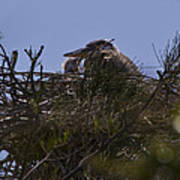 Great Blue Heron In Nest Poster