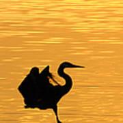 Great Blue Heron Landing In Golden Light Poster
