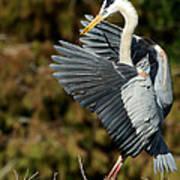 Great Blue Heron Landing Poster