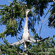 Great Blue Heron Meditation Pacific Northwest Poster