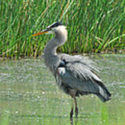 Great Blue Heron Poster by Paul Ward
