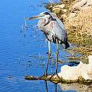 Great Blue Heron Resting Poster