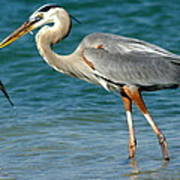 Great Blue Heron With Catch Poster